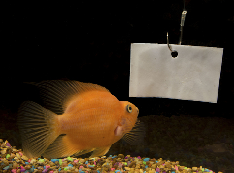 goldfish reading